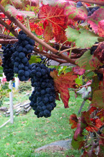 Donnas Nebbiolo grapes destined for rosato wine