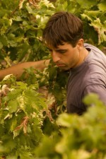 Maurizio harvesting the Rossese grapes