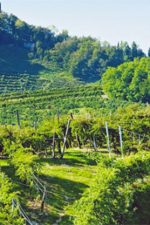 The Glera vineyards at Sorelle Bronca