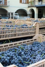 Getting the nebbiolo grapes ready for the crush