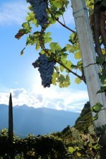 Nebbiolo grapes hanging out in the Balgera vineyard.