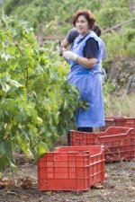 The vendemmia (harvest) has the entire family in the vineyards
