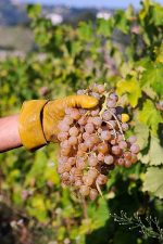 The pecorino grape harvest in the Ciu Ciu vineyards