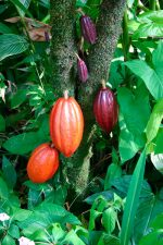 Cocoa pods, ripe and ready to pick.