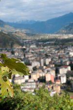 Chiavennasca (Nebbiolo) grapes in the Arpepe vineyard just above Sondrio