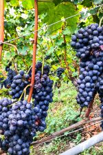 Nebbiolo, or Chiavennasca, grapes in the ArPePe Grumello vineyard