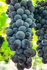 Chiavennasca, or Nebbiolo, grapes in the Valtellina